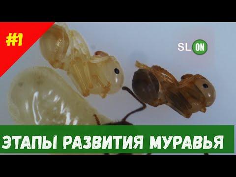 Этапы развития личинки муравья мессор структор (messor structor)