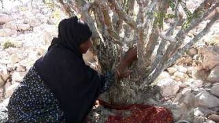Frankincense: Harvesting