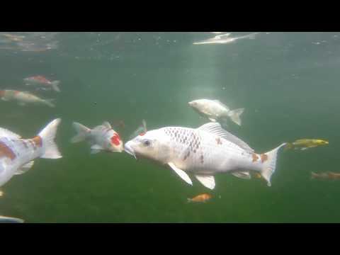 Floating through a large koi pond week 1