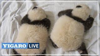 🔴Zoo de Beauval: les jumelles PANDAS grandissent et ont ouvert les yeux🐼