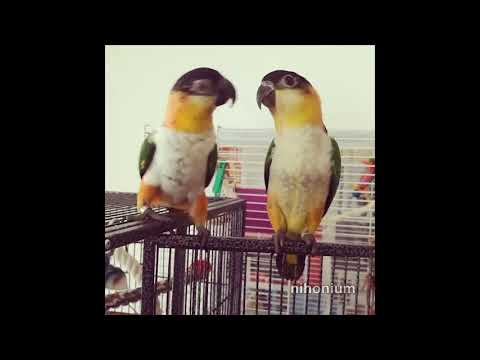 caiques on a cage