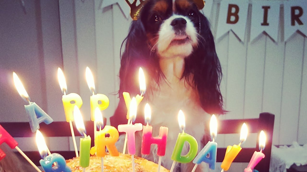 Happy 3rd Luna Cavalier King Charles Spaniel YouTube