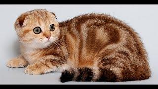 Смешные кошки _ Шотландская вислоухая кошка или скоттиш-фолд—порода кошек_Funny cats_搞笑的猫_القطط مضحك