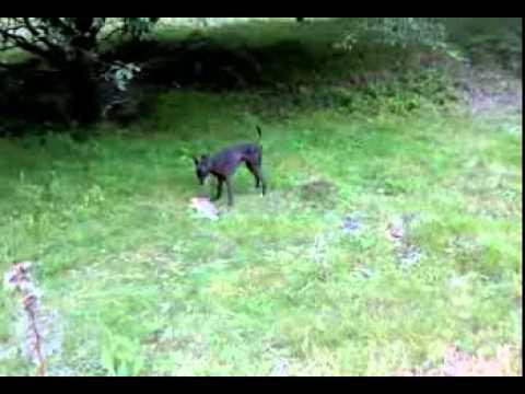 italiaanse windhond jip heeft trek - youtube