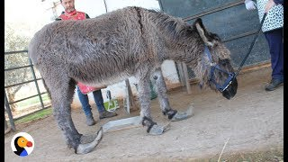 Donkey's Hooves Grew So Long She Couldn't Walk