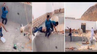فيديو ثور ينطح رجل بقوة ويسقطه داخل مسبح تحت الإنشاء