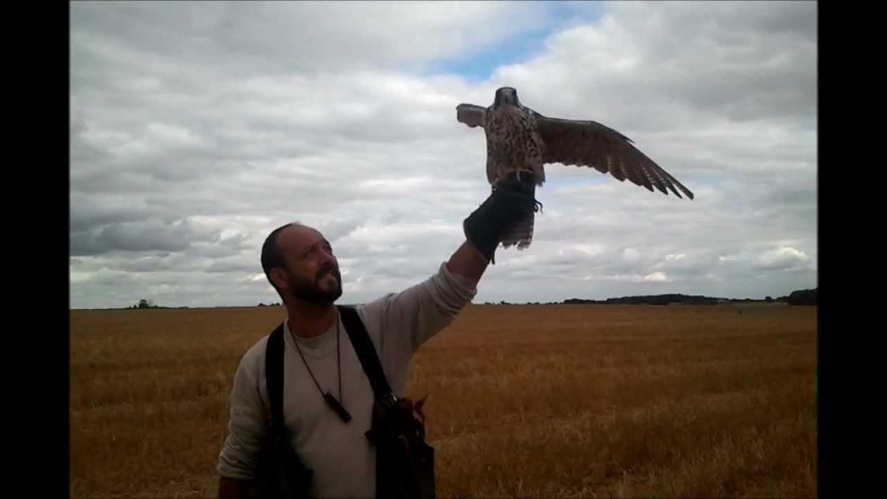 Entrainement faucon training falcon youtube - Dessin de faucon ...