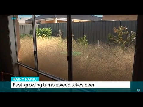 Fast-growing tumbleweed takes over in Australia