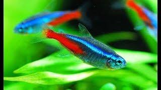 Релакс #Аквариумные #рыбки голубой #неон