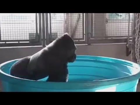 Dallas Zoo Gorilla Spins & Dances In Pool