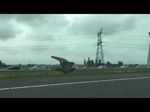 pigeon-race-on-the-motorway