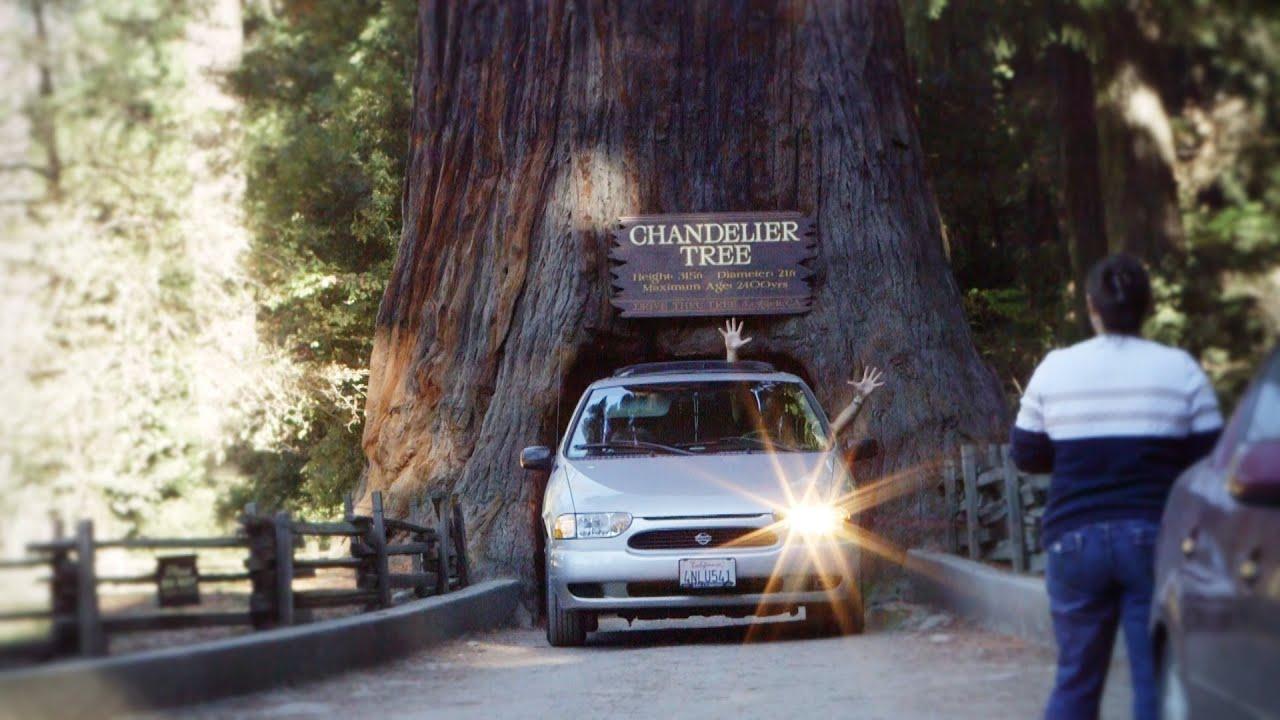 Chandelier tree in the redwoods of leggett ca canon c100 with kit chandelier tree in the redwoods of leggett ca canon c100 with kit lens arubaitofo Choice Image