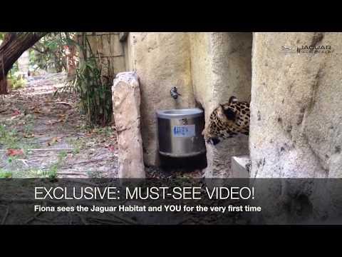 MUST-SEE VIDEO OF JAGUAR ORPHAN FIONA