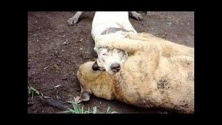 ライオン(Panthera leo)は、Panthera属の4匹の大きな猫の1つであり、F...
