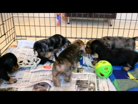 "Miniature wire dachshund puppies ""Iz Novo-Peredelkino"""
