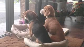 ミルキーがベットに一緒に入ってるのが気にくわないビーグル犬キャンディ。