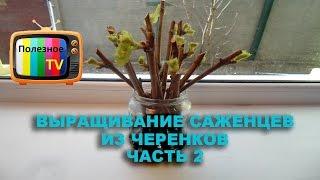 Проращивание черенков винограда - самый легкий способ Часть 2