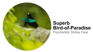 Superb Bird-of-Paradise: Psychedelic Smiley Face