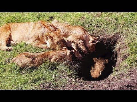 사자 멧돼지 집을 습격하다! Lion vs Warthog, lion kill warthog in hole