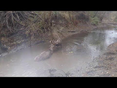 White Tail Buck Rescue