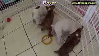 Boxer, Puppies, For, Sale, In, Des Moines, Iowa, Ia, Bettendorf, Marion, Cedar Falls, Urbandale, Ank