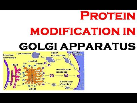 Protein modifications in Golgi aparatus post translational