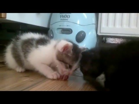 Cute little kittens eating RAW FOOD as their first solid food.
