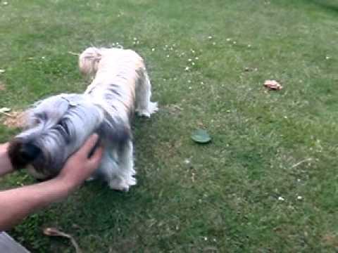 Skye terrier - Having fun outside