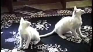 Videos Gatos divertidos