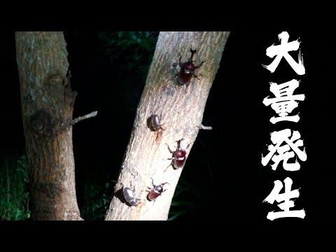 プロが教えるヒラタクワガタの捕獲方法!【カブトムシやノコギリクワガタ大量発生】