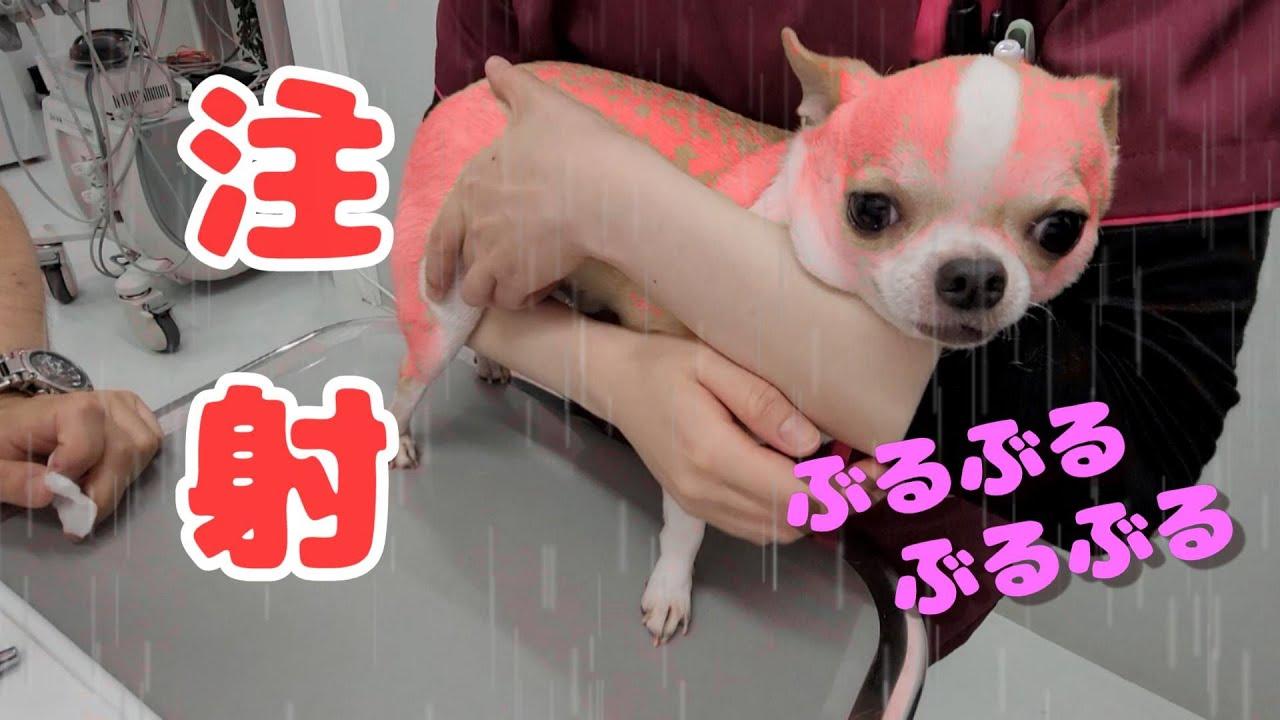 混合ワクチンの予防接種注射をするチワワ犬🐶 ブルブル緊張の表情モフ🐶💓