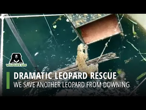 Drowning Leopard Rescued From A 60 foot Well By Wildlife SOS
