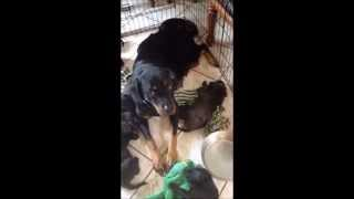 Rottweiler Nala And Her 10 Puppies Arrive In Nh On 7/12