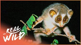 Nature's Strangest Creature, The Slender Loris | On The Brink S1 EP3 | Real Wild