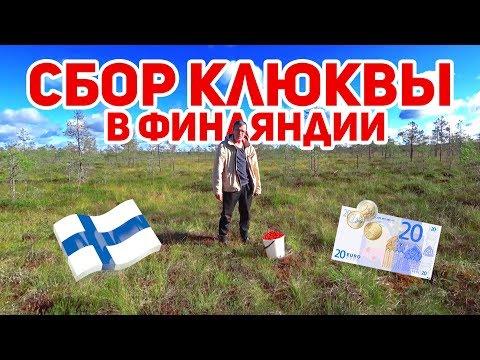 Сбор клюквы в Финляндии осенью. Сколько можно заработать?