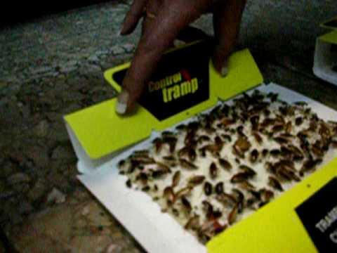 Trampa para cucarachas mostrando su efectividad youtube - Trampas para ratones de campo ...