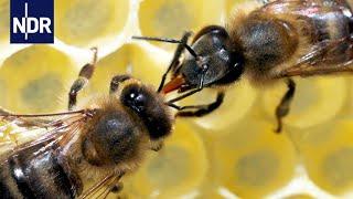 Rettung fr unsere Bienen Ein Forscher macht Hoffnung fr die Zukunft  45 Min  NDR