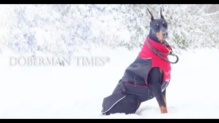 Doberman Pinscher first time in the deep snow【DobermanTimes®】
