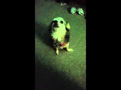 Chihuahua Singing Jesus loves me.