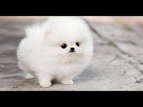 фото шпицы собаки