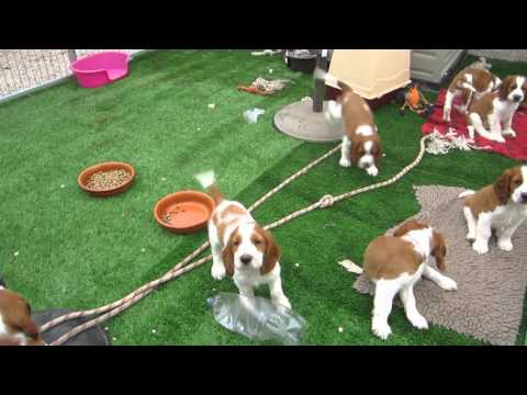 Jade´s Welsh springer spaniel puppies - 9 weeks old (part 2)