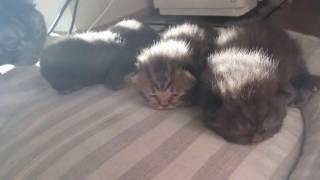 Недельные британские котята в солнечном свете. Очень милое видео