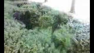 Les buissons de l
