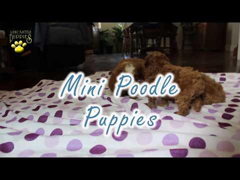 Mini Poodle Puppies