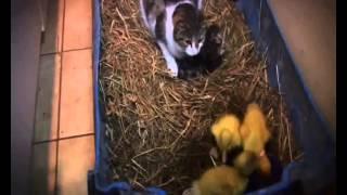 кошка воспитывает котят и гусей .!!!!.