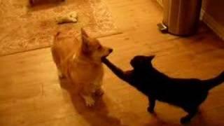 Welsh Corgi Vs Black Cat