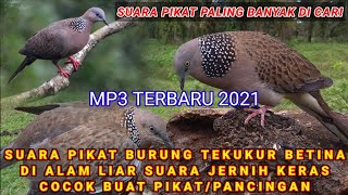 Download TERBARU 2021 | SUARA BURUNG TEKUKUR | SUARA PIKAT PALING DI CARI