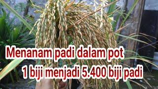 Download lagu Menanam pada dalam pot. 1 biji menjadi -+ 5400 biji padi !!