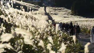 夕日に染まり、黄金色に波立つ大海原 箱根・仙石原のススキ見ごろに