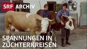 Viehschau im Simmental (1976) | Spannungen bei Züchtern | Landwirtschaft in der Schweiz | SRF Archiv